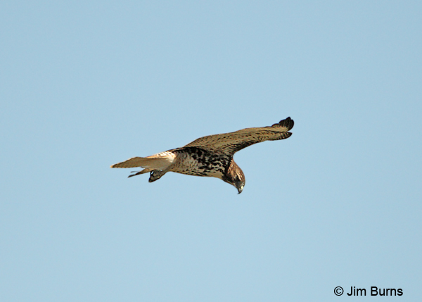 Red-tailed Hawk kiting