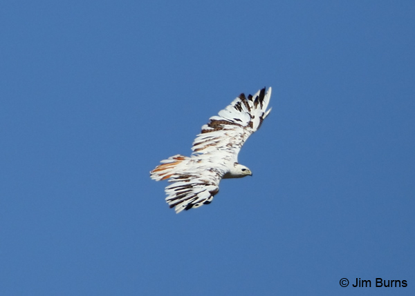 Red-tailed Hawk leucistic in flight dorsal