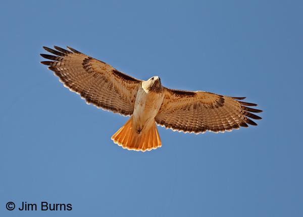 Red-tailed Hawk overhead diagnostics