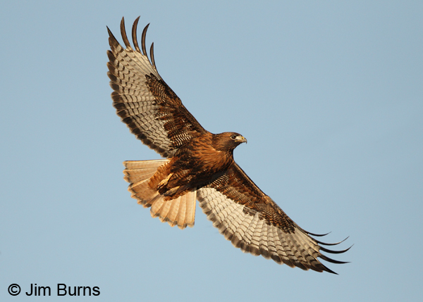 Red-tailed Hawk adult rufous morph in flight