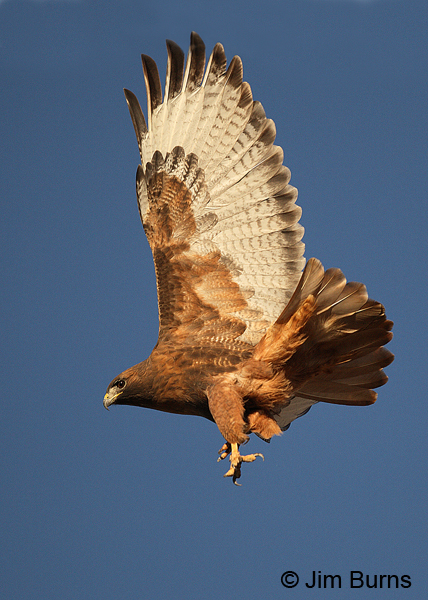 Red-tailed Hawk adult rufous morph landing
