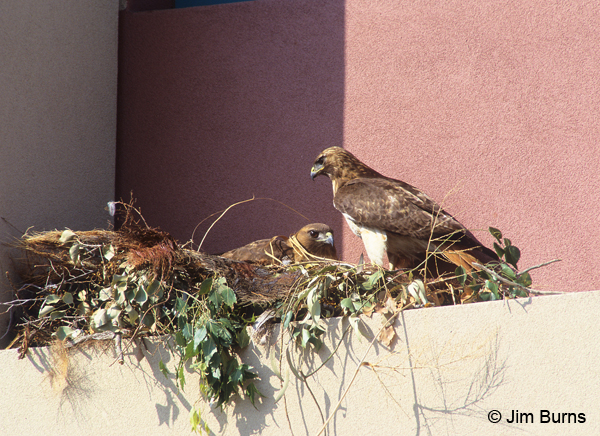 Red-tailed Hawks on balcony nest
