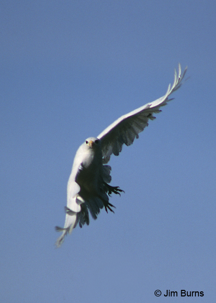 Red-tailed Hawk albino in flight