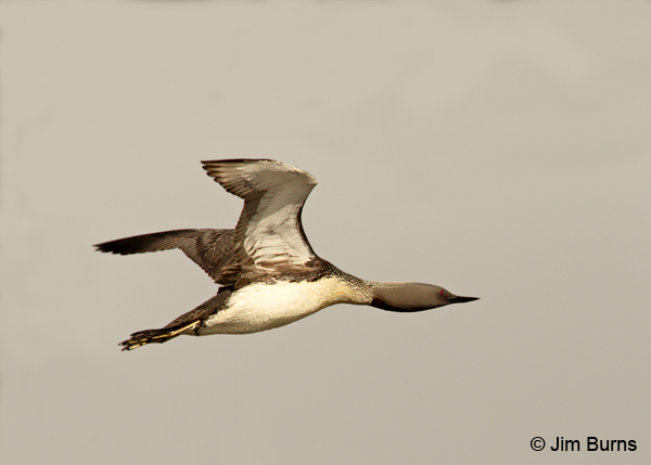Red-throated Loon in flight #2 Red Throated Loon