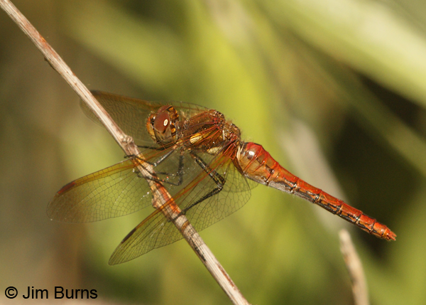 Red-veined Meadowhawk female, Josephine Co., OR, July 2013