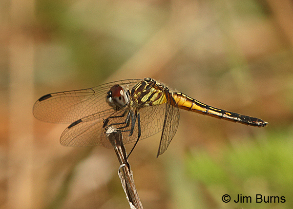 Red-veined Pennant female, Santa Rosa Co., FL, March 2016
