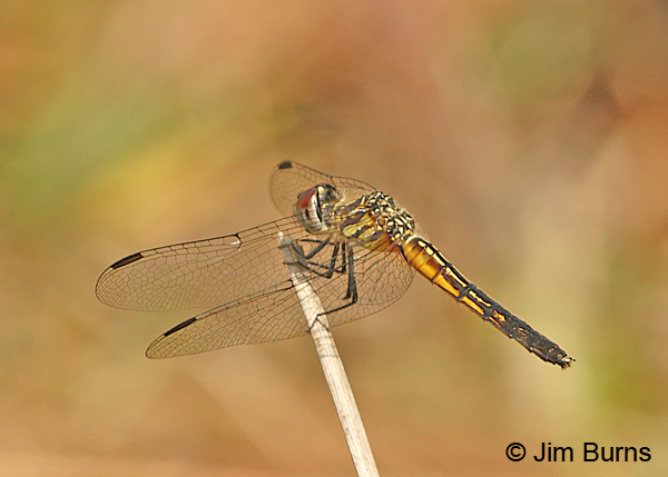 Red-veined Pennant female dorsolateral view, Santa Rosa Co., FL, March 2016