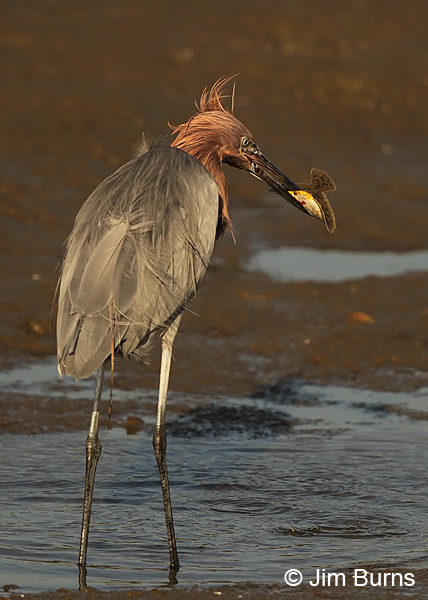 Reddish Egret with Flounder