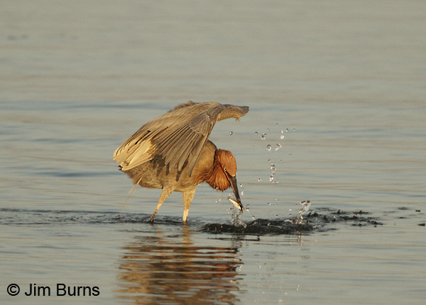 Reddish Egret with Talapia