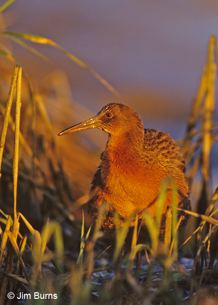 Ridgway's Rail at sunset with mud on bill