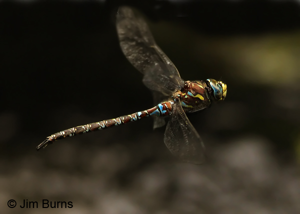 Riffle Darner male in flight, Coconino Co., AZ, July 2012