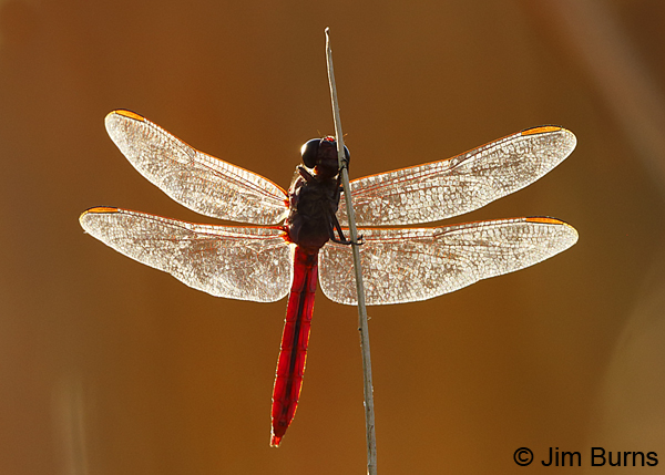 Roseate Skimmer male, Pinal Co., AZ, August 2018--8316