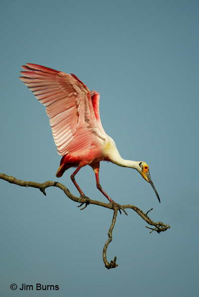 Roseate Spoonbill out on a limb