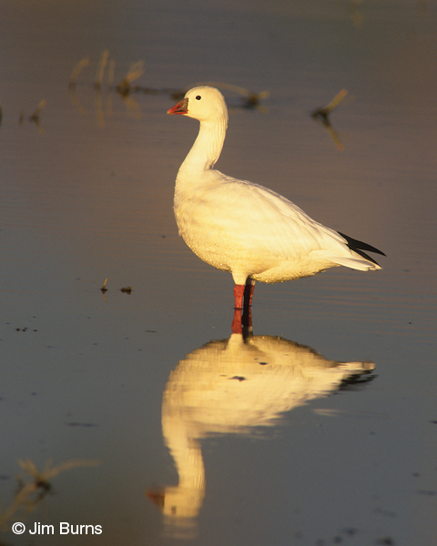 Ross's Goose sunset reflection