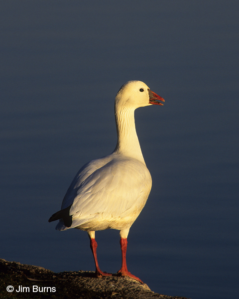 Ross's Goose calling