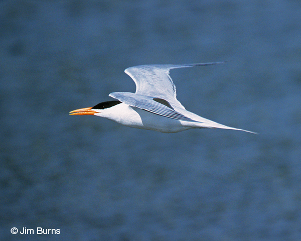 Royal Tern adult breeding in flight