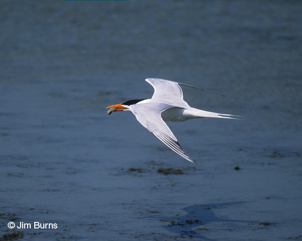 Royal Tern adult breeding in flight with fish