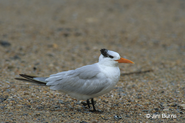 Royal Tern adult nonbreeding