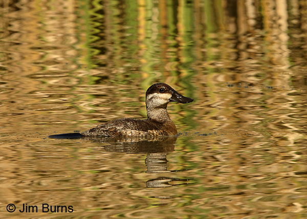 Ruddy Duck female in reed ripples