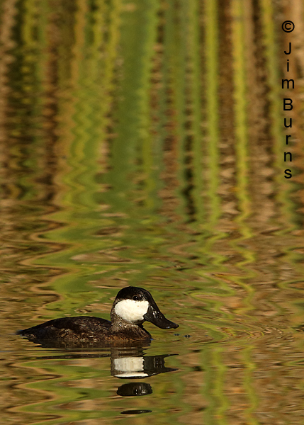 Ruddy Duck male in reed ripples vertical