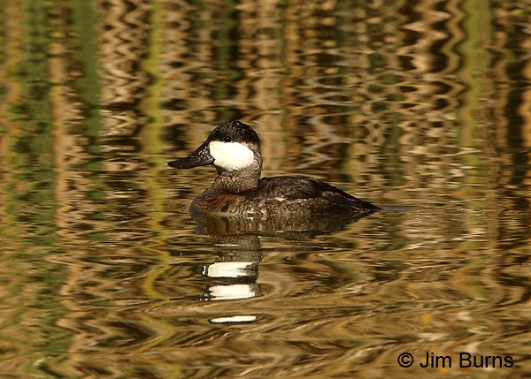 Ruddy Duck male in reed ripples
