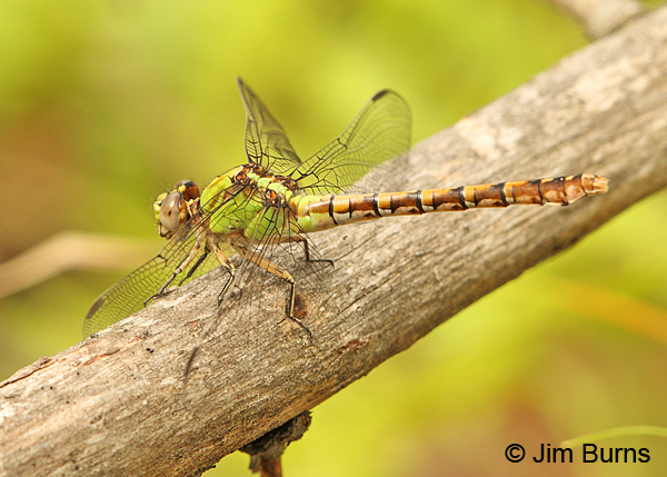 Rusty Snaketail female, Chisago Co., MN, June 2014