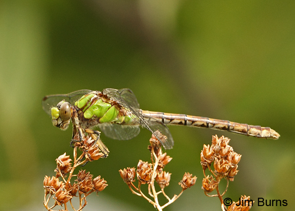 Rusty Snaketail female, Coos Co., NH, July 2014