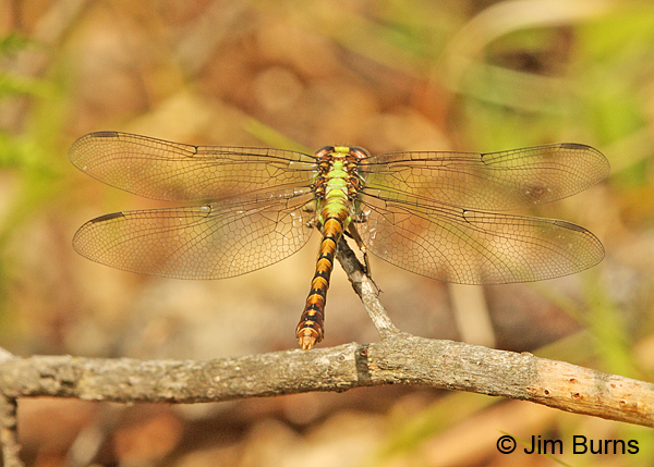 Rusty Snaketail female dorsal view, Vilas Co., WI, June 2014