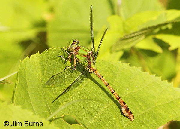 Rusty Snaketail male, Chisago Co., MN, June 2014