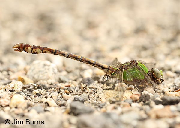 Rusty Snaketail male, Coos Co., NH, July 2014