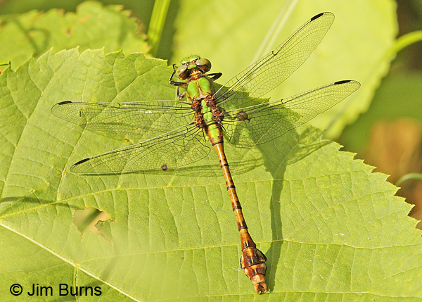 Rusty Snaketail male dorsal view, Chisago Co., MN, June 2014