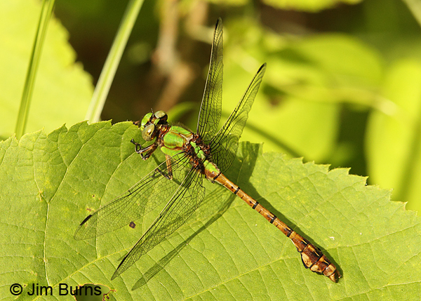 Rusty Snaketail male dorsolateral view, Chisago Co., MN, June 2014