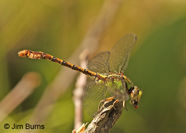 Rusty Snaketail male eating fly, Vilas Co., WI, June 2014