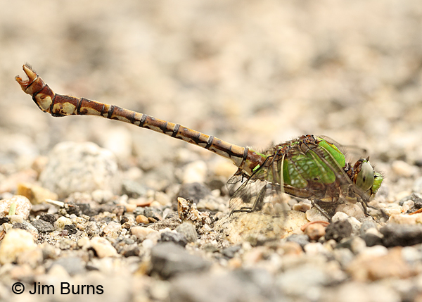 Rusty Snaketail male exercising claspers, Coos Co., NH, July 2014