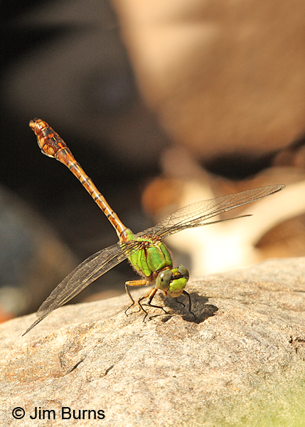 Rusty Snaketail male obelisking, Chisago Co., MN, June 2014