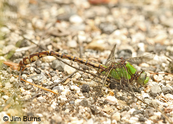Rusty Snaketail male picking up stick with claspers, Coos Co., NH, July 2014