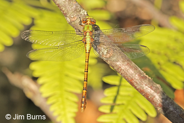Rusty Snaketail teneral female dorsal view, Rusk Co., WI, June 2014