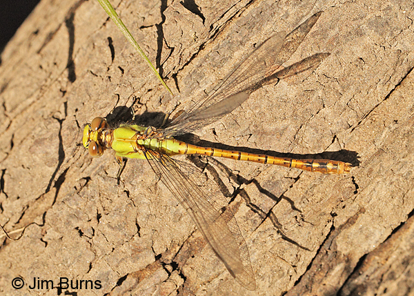 Rusty Snaketail teneral female, Rusk Co., WI, June 2014