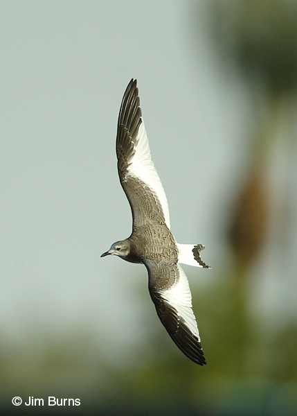 Sabine's Gull juvenile in flight
