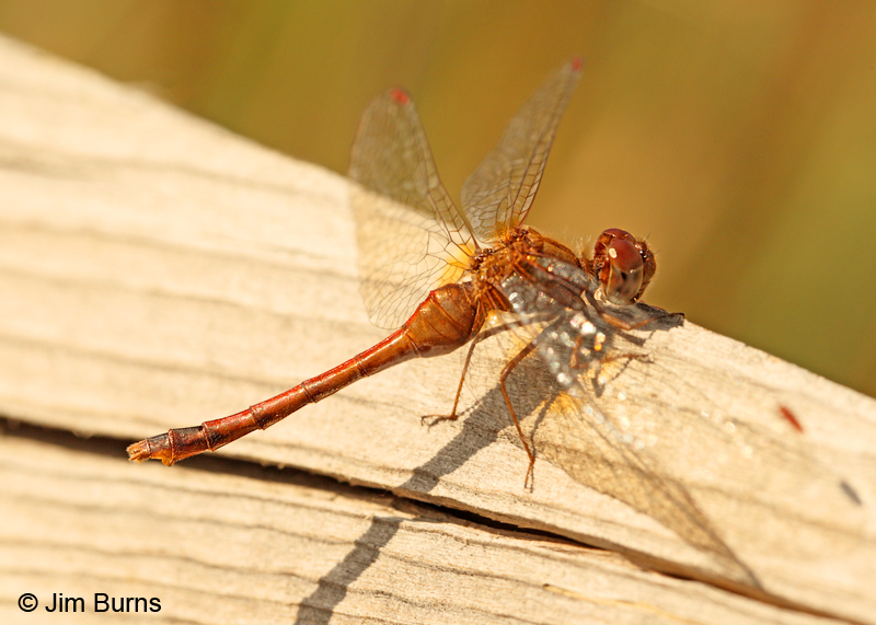 Saffron-winged Meadowhawk female, Hennepin Co., MN, September 2011