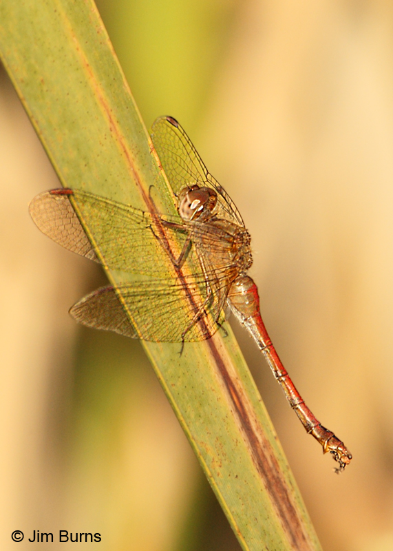 Saffron-winged Meadowhawk female #2, Hennepin Co., MN, September 2011
