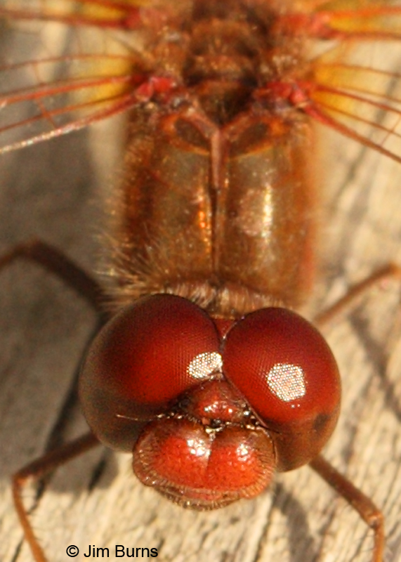 Saffron-winged Meadowhawk male face shot, Hennepin Co., MN, September 2011