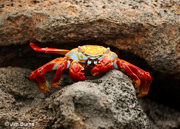 Sally Lightfoot Crab adult orange variant