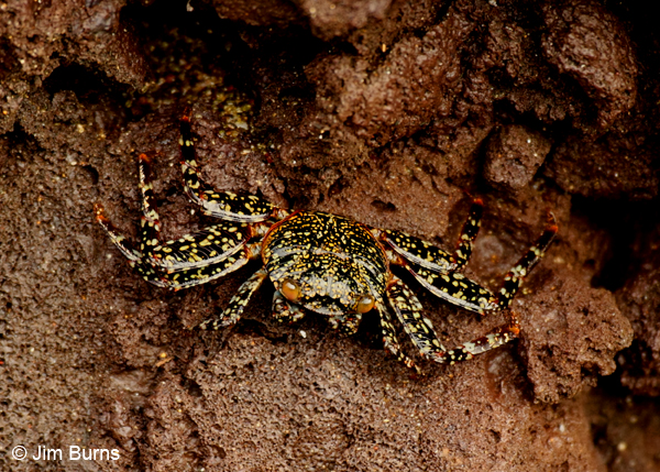 Sally Lightfoot Crab adult dark spotted variant