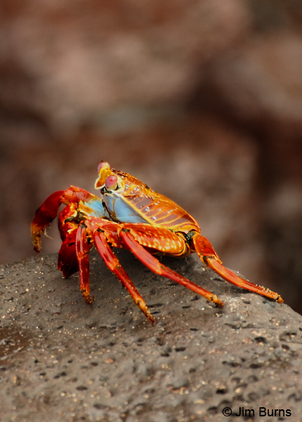 Sally Lightfoot Crab channeling its inner Praying Mantis
