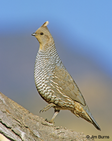 Scaled Quail male