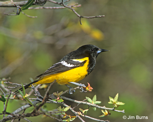 Scott's Oriole adult male