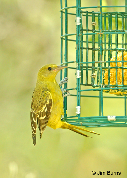 Scott's Oriole juvenile female at suet feeder
