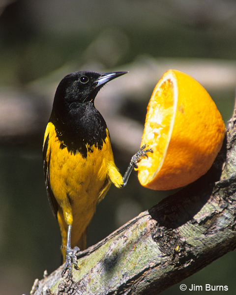 Scott's Oriole on orange