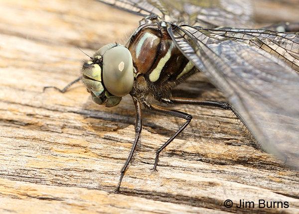 Sedge Darner adromorph female face and thorax, Summit Co., UT, July 2016